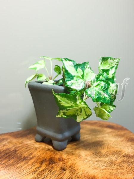 bonsaipot-6-sunleaf
