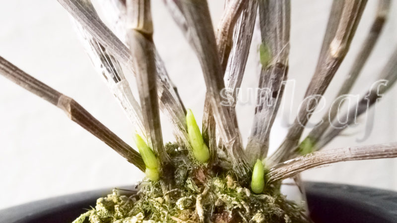 spring-12-sunleaf-dendrobium-moniliforme-3