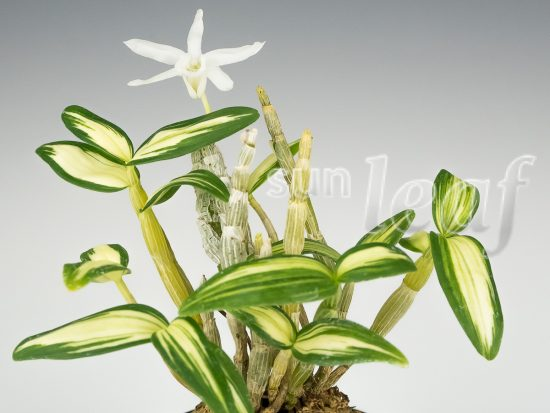 Учебник для коллекционеров японских орхидей