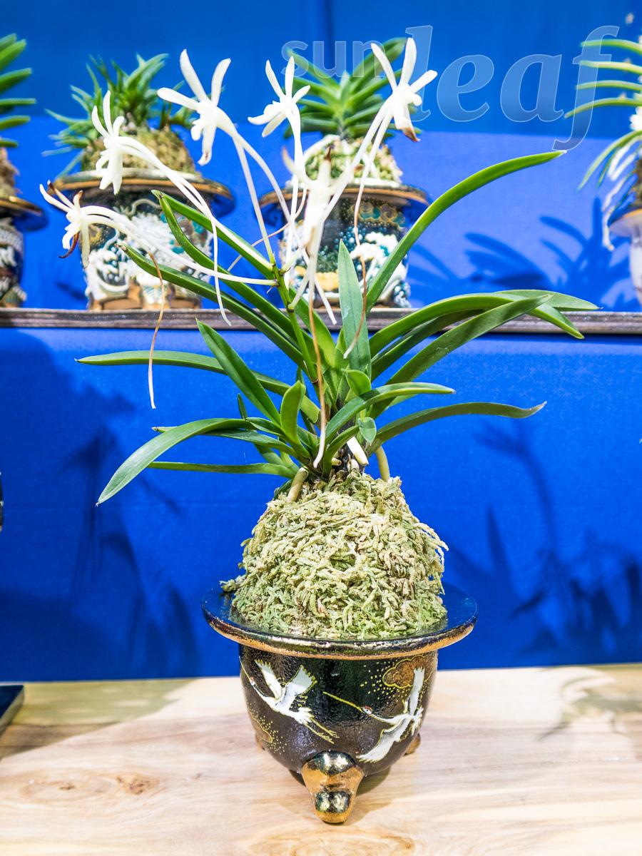 Японские орхидеи - выставка 2016