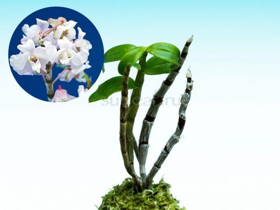 dendrobium-moniliforme-utage