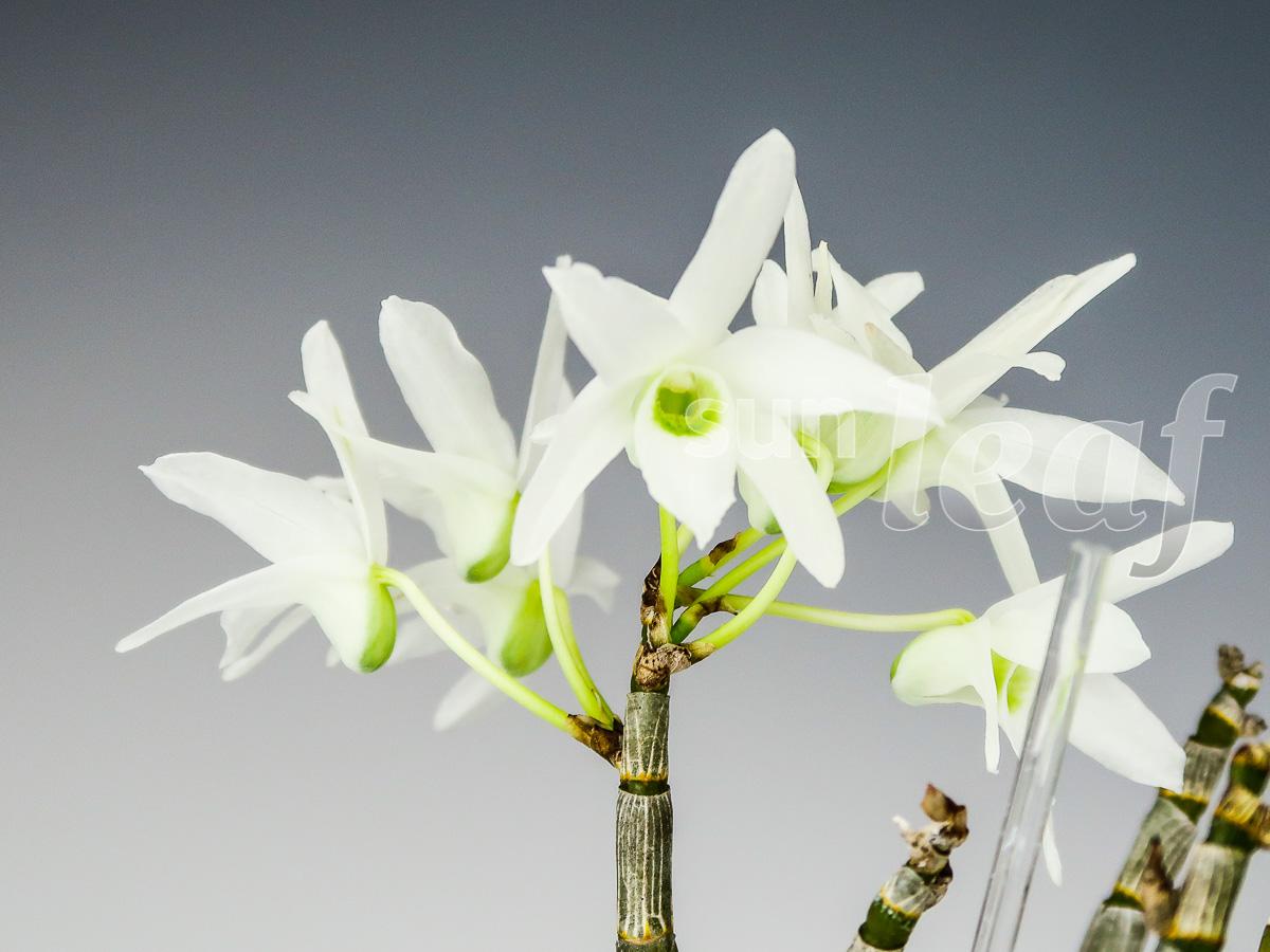 dendrobium-moniliforme-asagiri