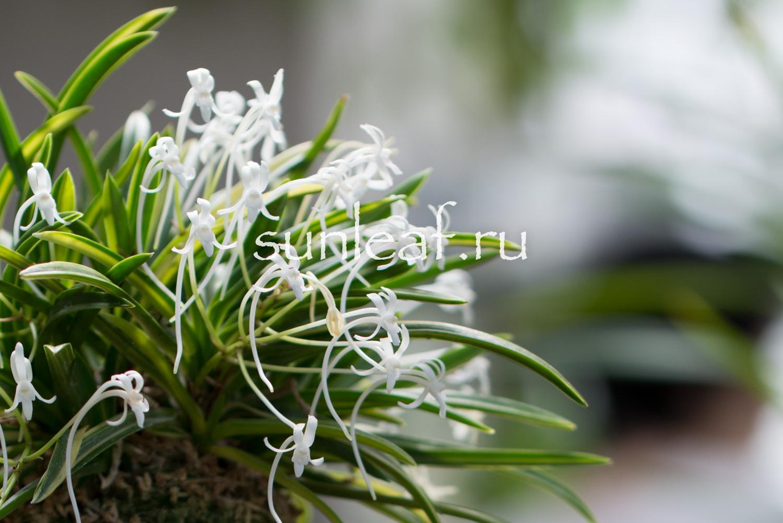 Различия цветка неофинетии