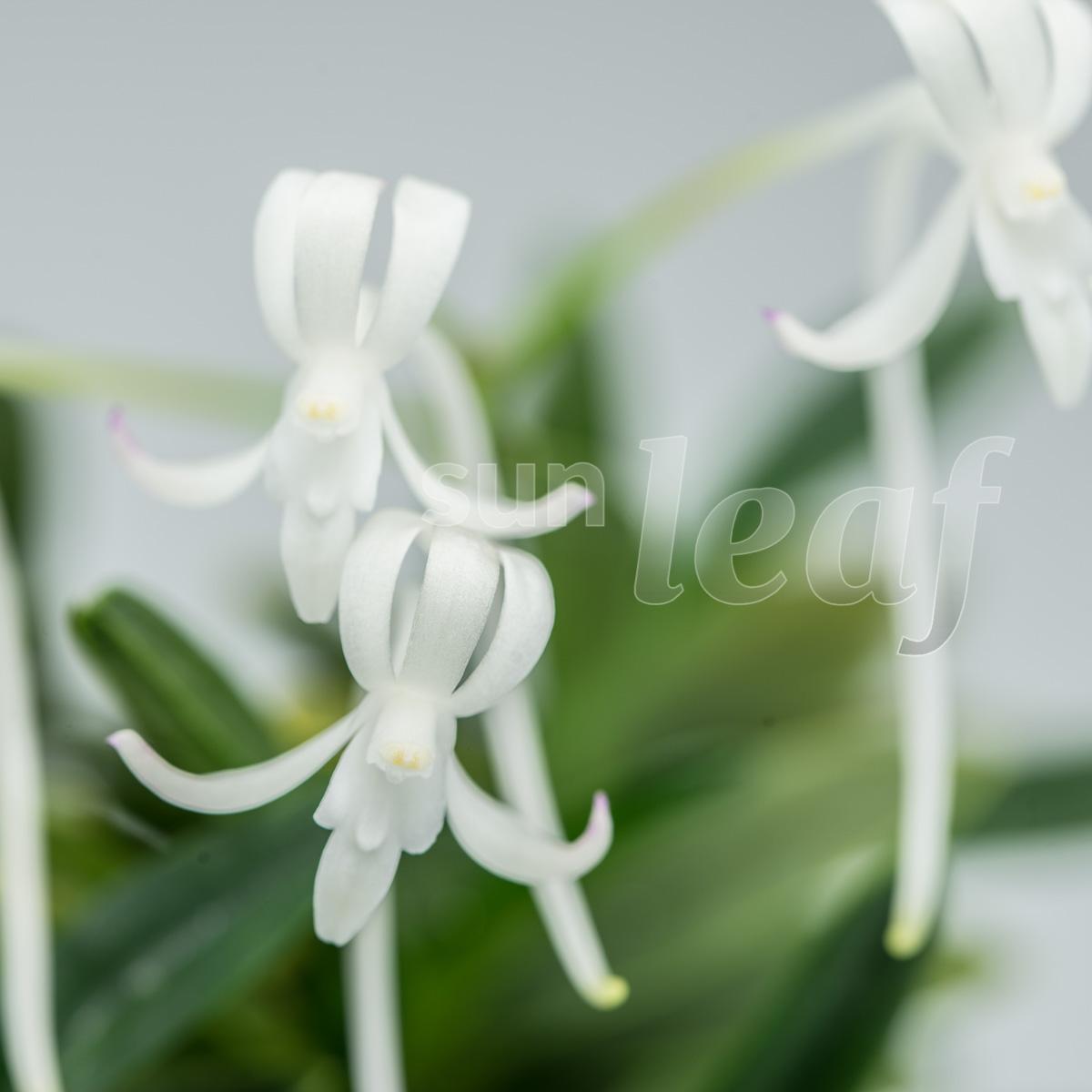 Японские орхидеи: Где таится аромат