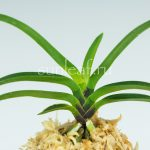 неофинетия Куцувамуси 비충 轡虫 neofinetia Kutsuwamushi