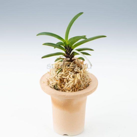 neofinetia-kutsuwamushi
