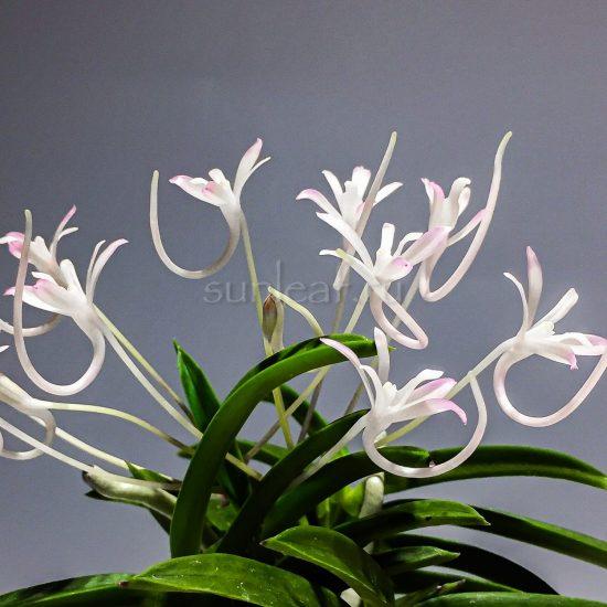 neofinetia Kutsuwamushi
