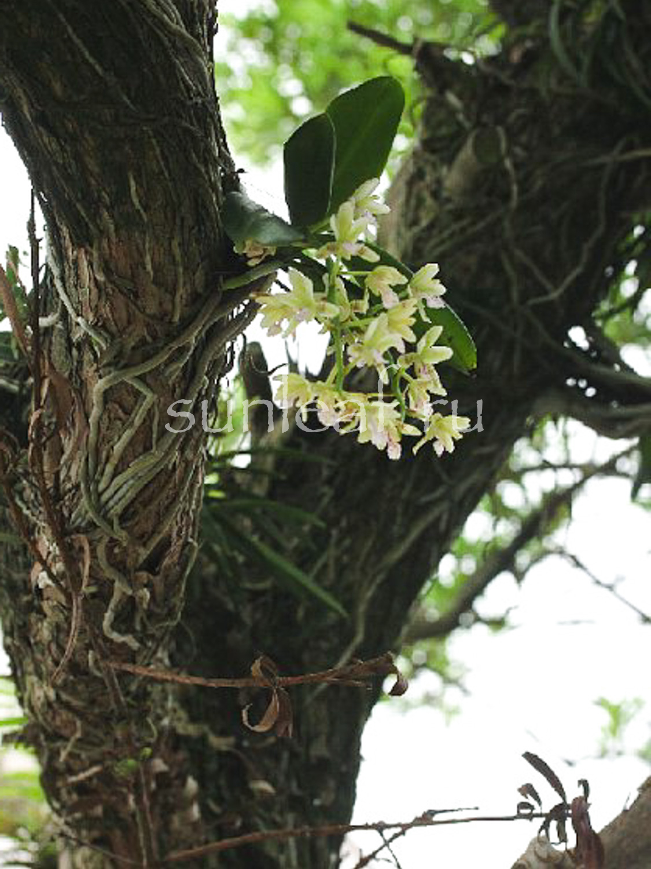 Седирея японика Sedirea japonica