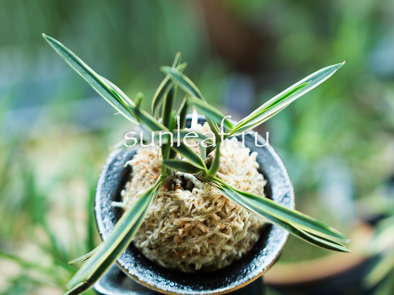 Посадка неофинетии - формируем красивый куст posadka neofinetii