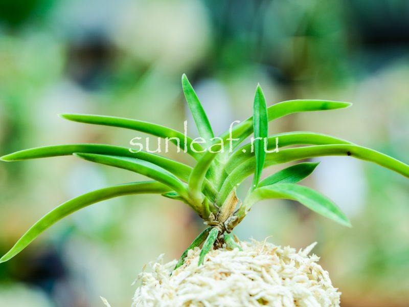 neofinetia falcata Amanogawa 富貴蘭 天の川