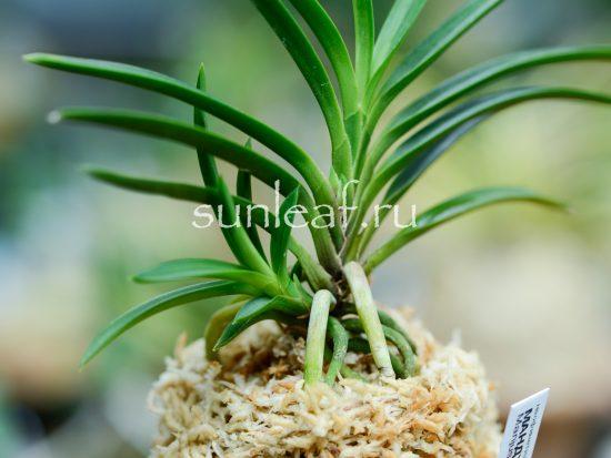 Neofinetia falcata Manjushage曼珠沙華