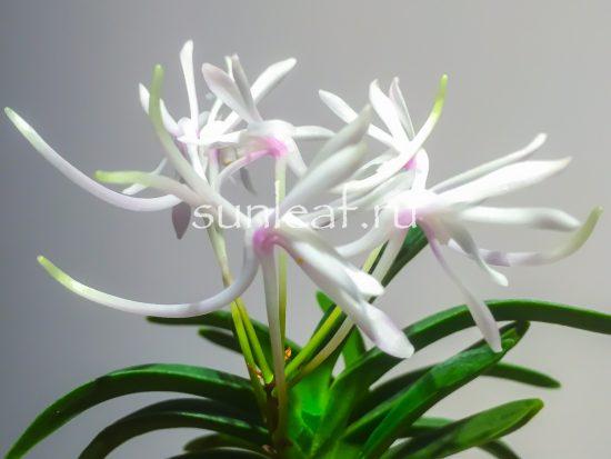 neofinetia falcata Unkai 富貴蘭 雲海