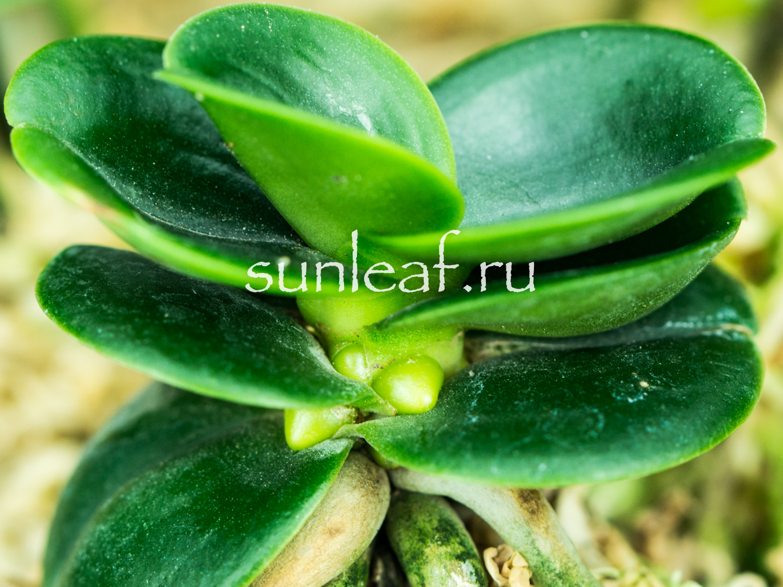 Седирея японика уход и адаптация Sedirea japonica minmaru ukhod