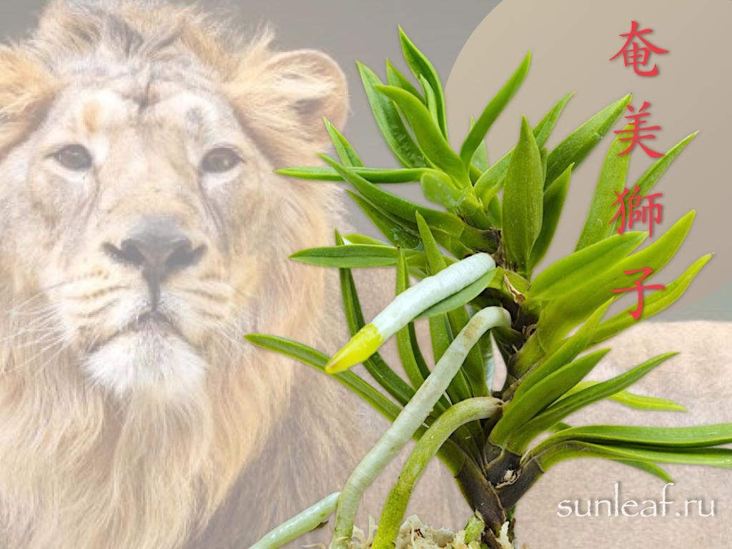 neofinetia-amami-jishi-奄美獅子