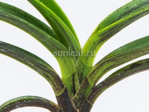 neofinetia-Chimmuk-침묵-琛墨