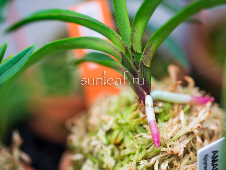 Орхидеи почтой