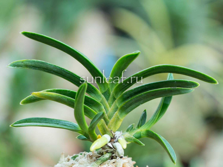 neofinetia-surusumi-摺墨