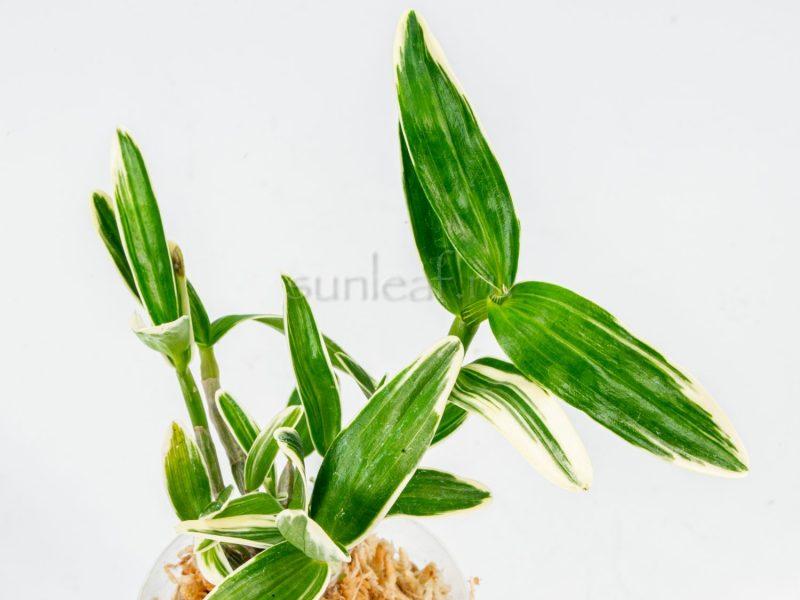 dendrobium-eunseol-ginsetsu