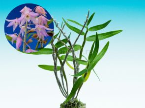 dendrobium-moniliforme-suzukahime
