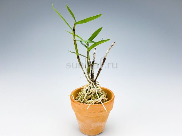 dendrobium moniliforme Tenshiko