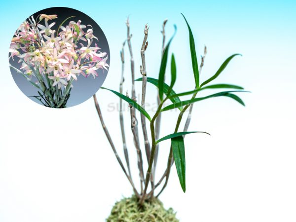 dendrobium-moniliforme-kitcho
