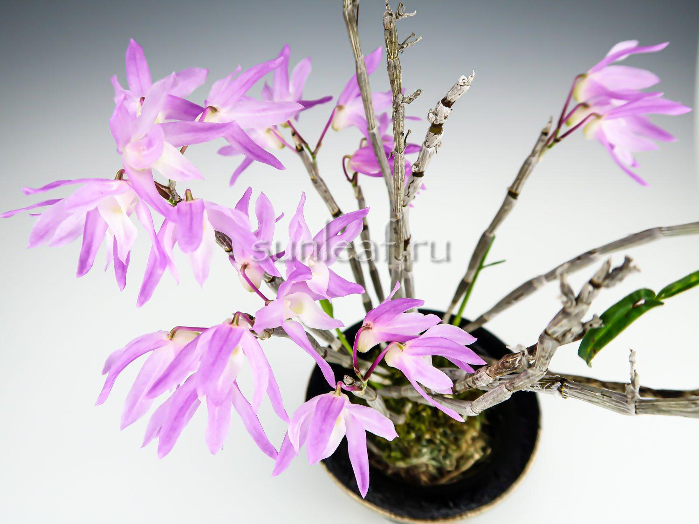dendrobium-moniliforme-suiko