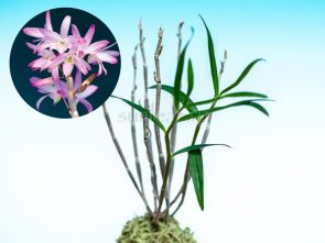 dendrobium-moniliforme-benishiho