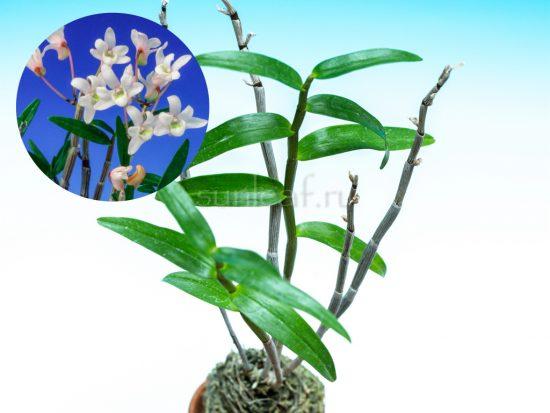dendrobium-moniliforme-himenomai