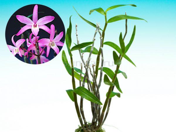 dendrobium-moniliforme-nanki