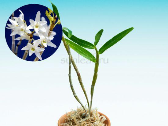 Сирасаги 白鷺 dendrobium moniliforme Shirasagi