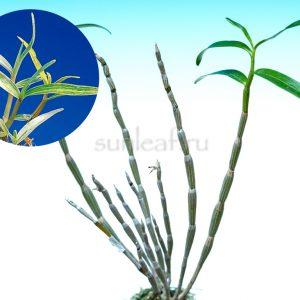 dendrobium-moniliforme-shirayukihime