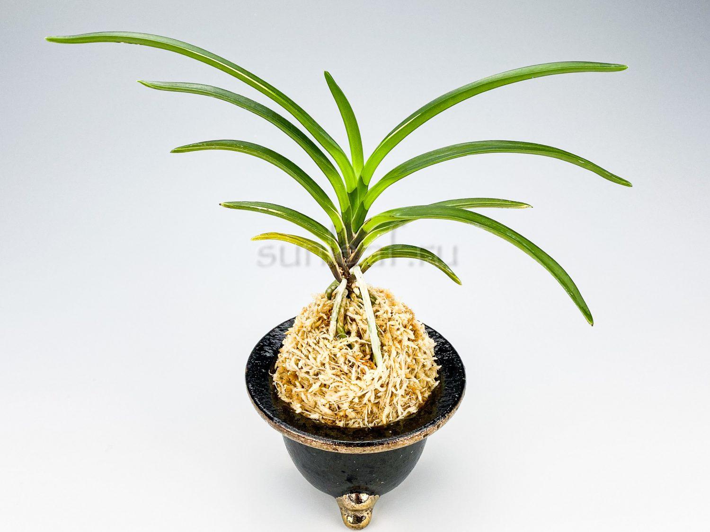 neofinetia-seolryeonggeum