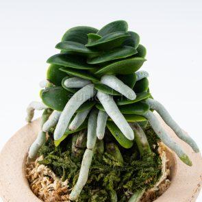 sedirea-Seigyokumaru