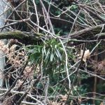Неофинетия серповидная Neofinetia falcata фуран