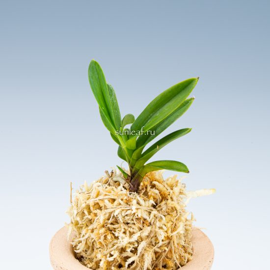 Хванъок 황옥 黃玉 neofinetia Hwangok
