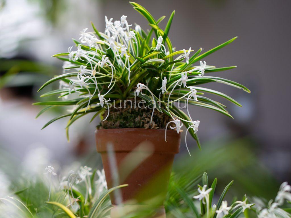 neofinetia-shirobana